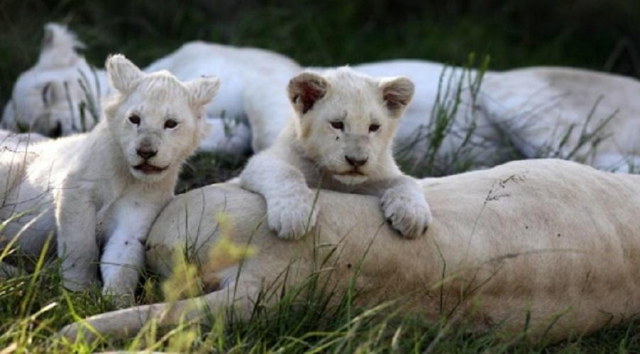 white lions baby - newborn