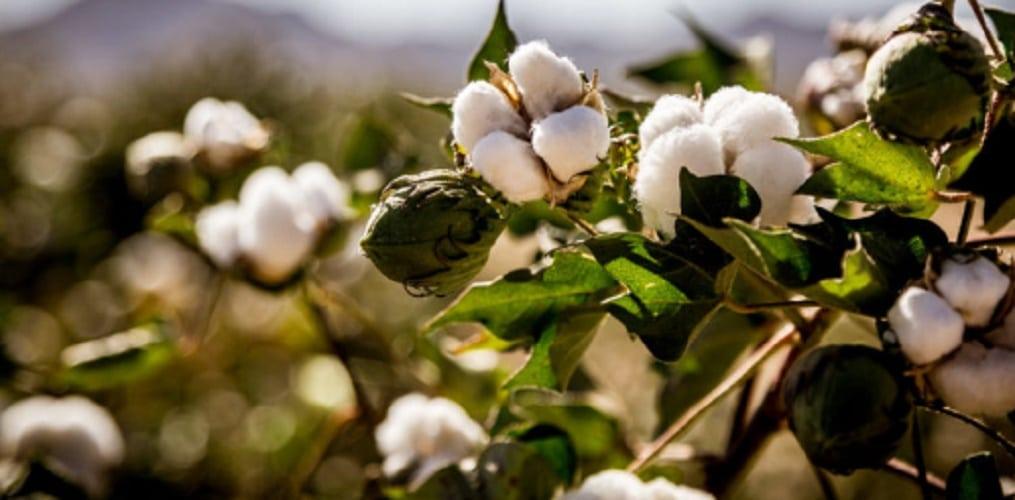 Cotton - organic matter
