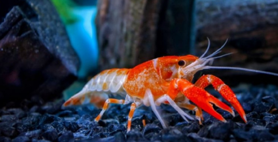 Native species - American crayfish