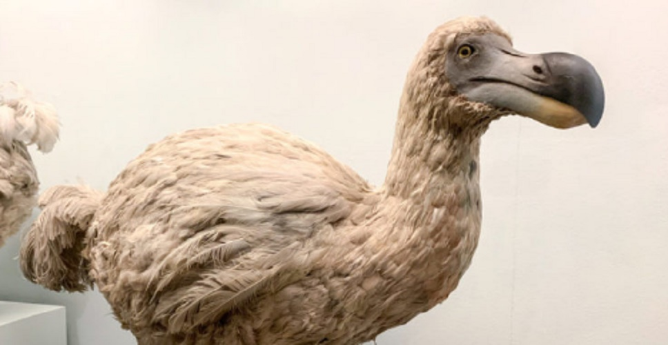 Extinct species - dodo bird