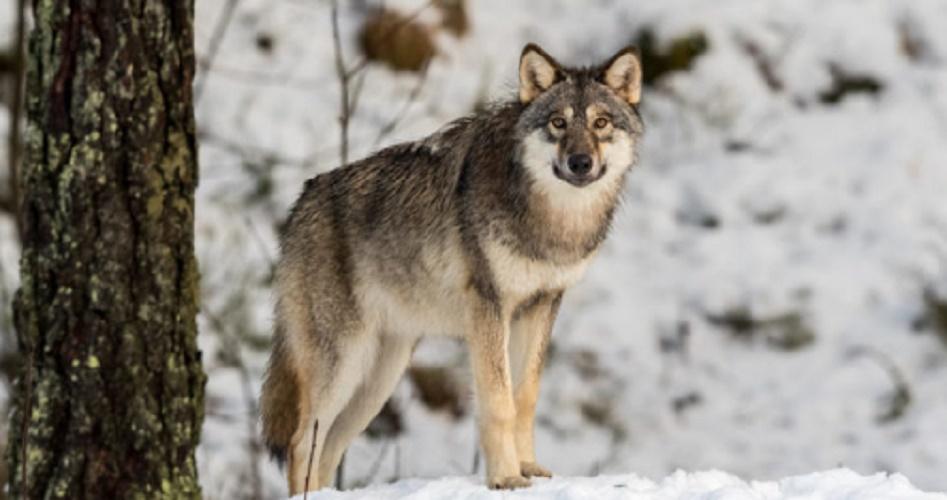 Species - gray wolf
