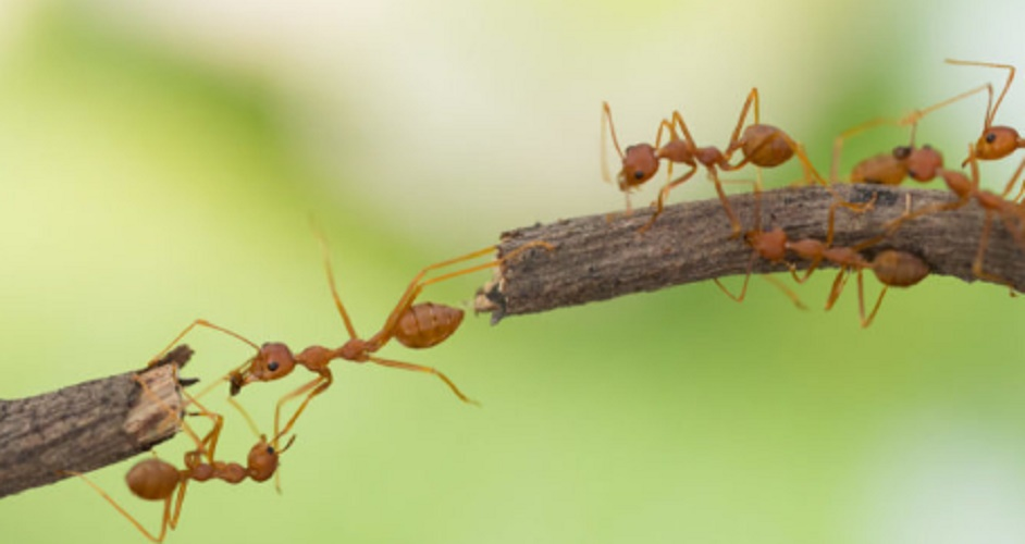 Argentine ants - endemic species