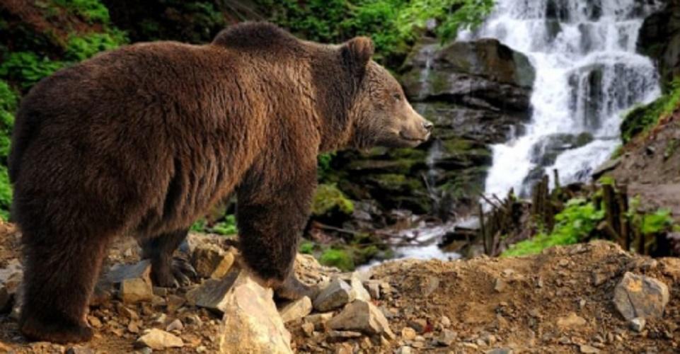 brown bear hibernation