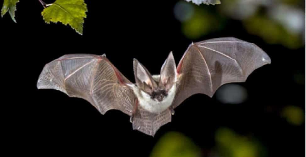Mammals - bat