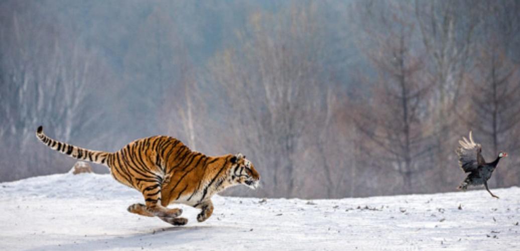 Quaternary consumers - tiger