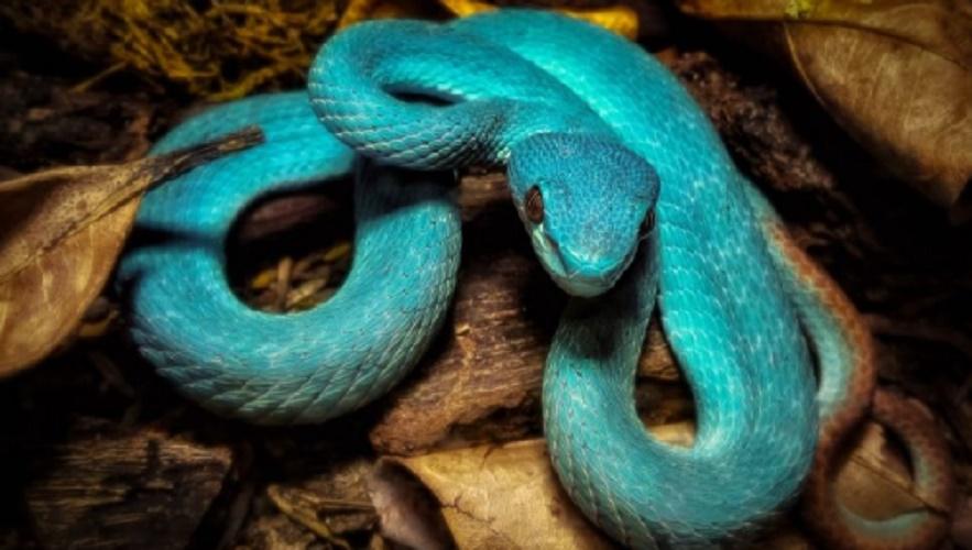 komodo crotalo azul wildlife national park