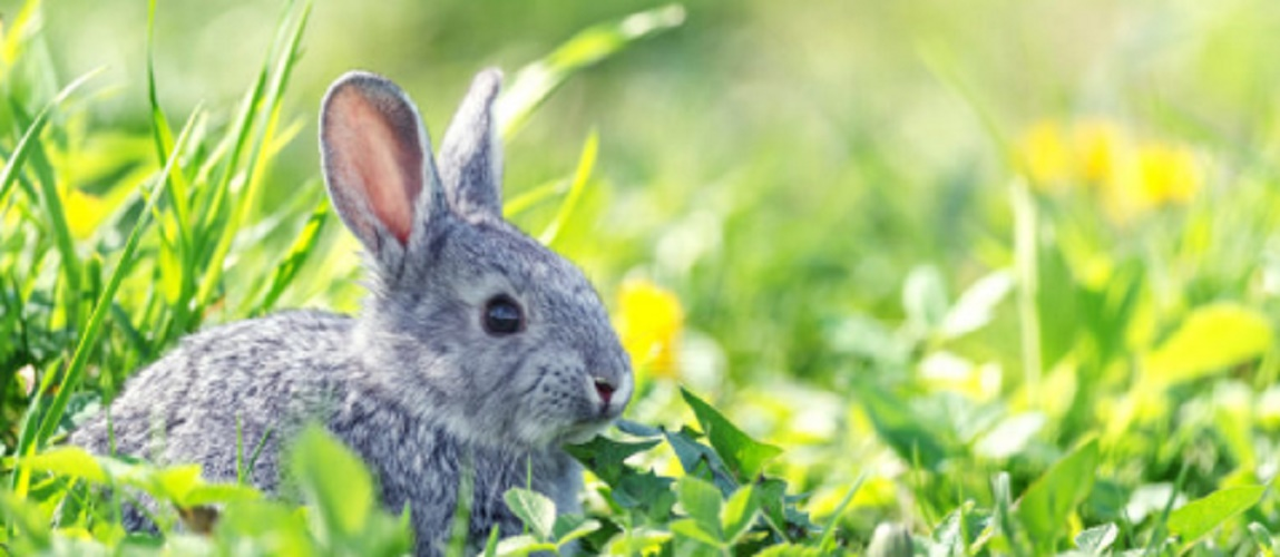 Invasive species - Rabbits