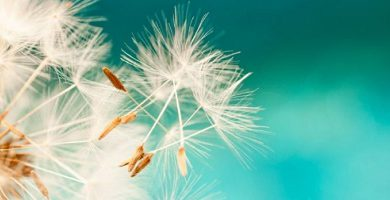 apomixis asexual reproduction dandelion