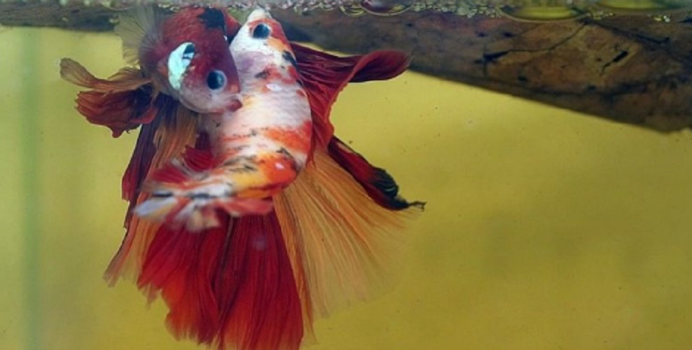 reproduction of betta fish