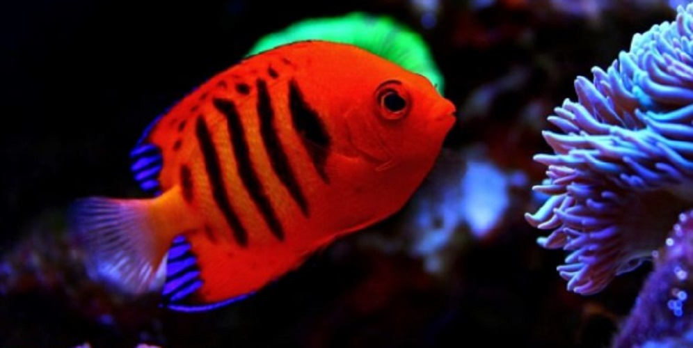 reproduction of the hermaphrodite flame angel fish