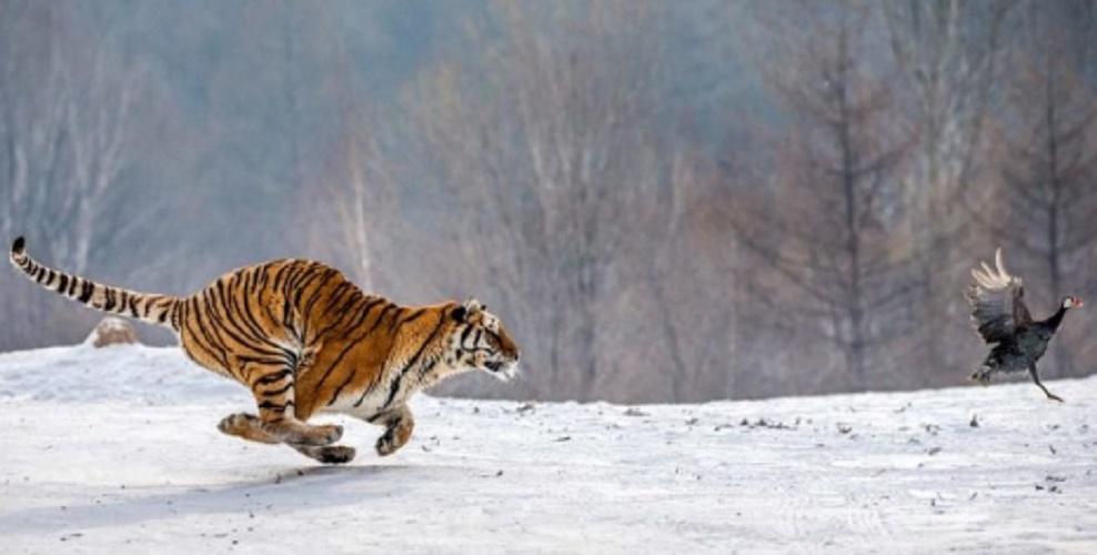 tiger terrestrial ecosystem