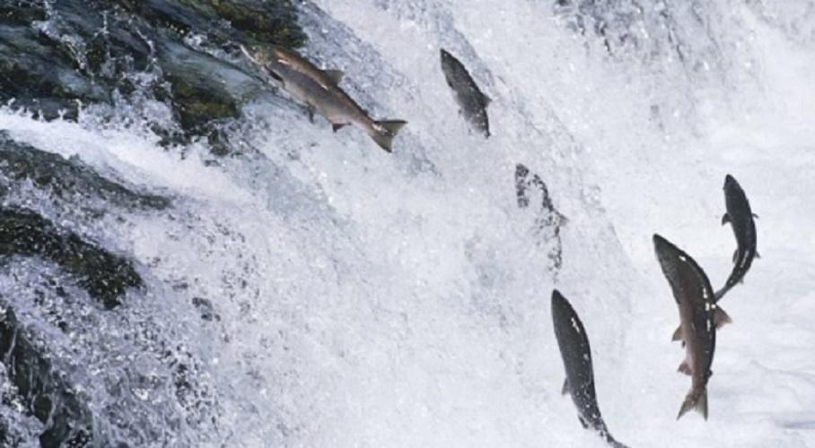reproduction of fish migracion salmon