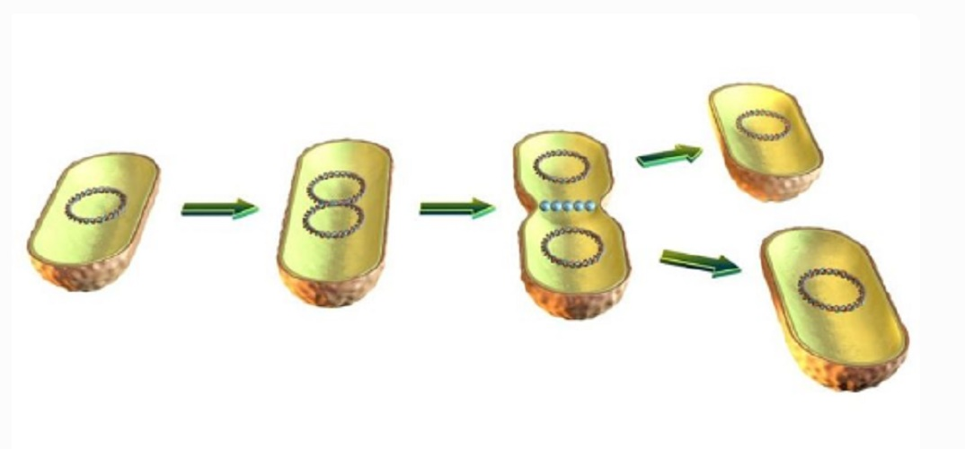 asexual reproduction binary fission advantages