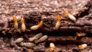 How to avoid having termites at home
