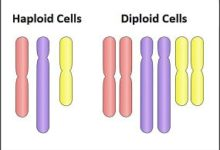 what is the difference between haploid and diploid cells
