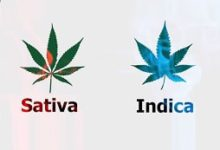 What is the difference between Sativa and Indica Plants?