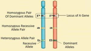The difference between gene and allele
