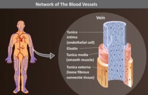 network of the blood vessels
