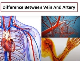 difference between vein and artery