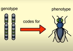 what is the difference between genotype and phenotype